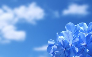 Blue-Flowers-Wallpaper-300x187