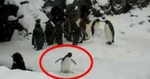Έδωσαν έκσταση σε πιγκουίνο για να γελάσουν